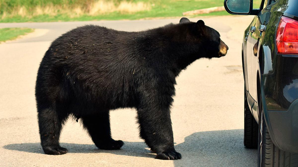 черный медведь автомобиль машина
