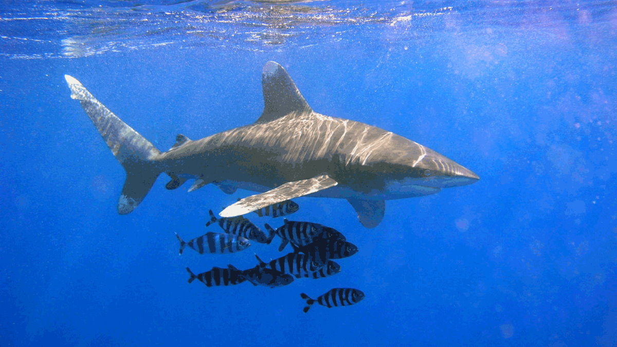 Длиннокрылая акула в сопровождении рыб-лоцманов