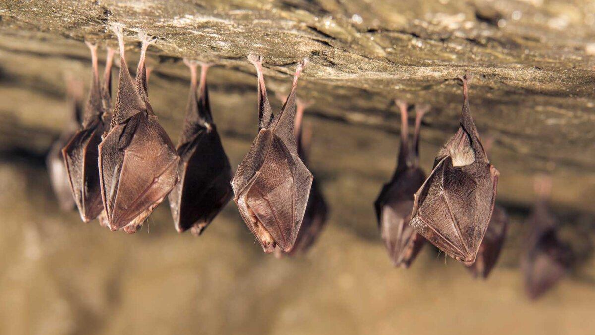 Летучие мыши спят Close up group of small sleeping horseshoe bat covered by wings