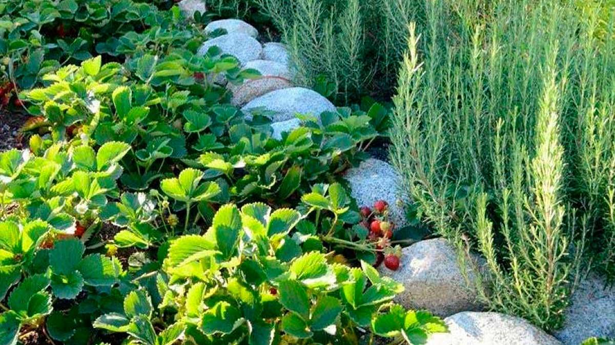 клубника растет возле травы