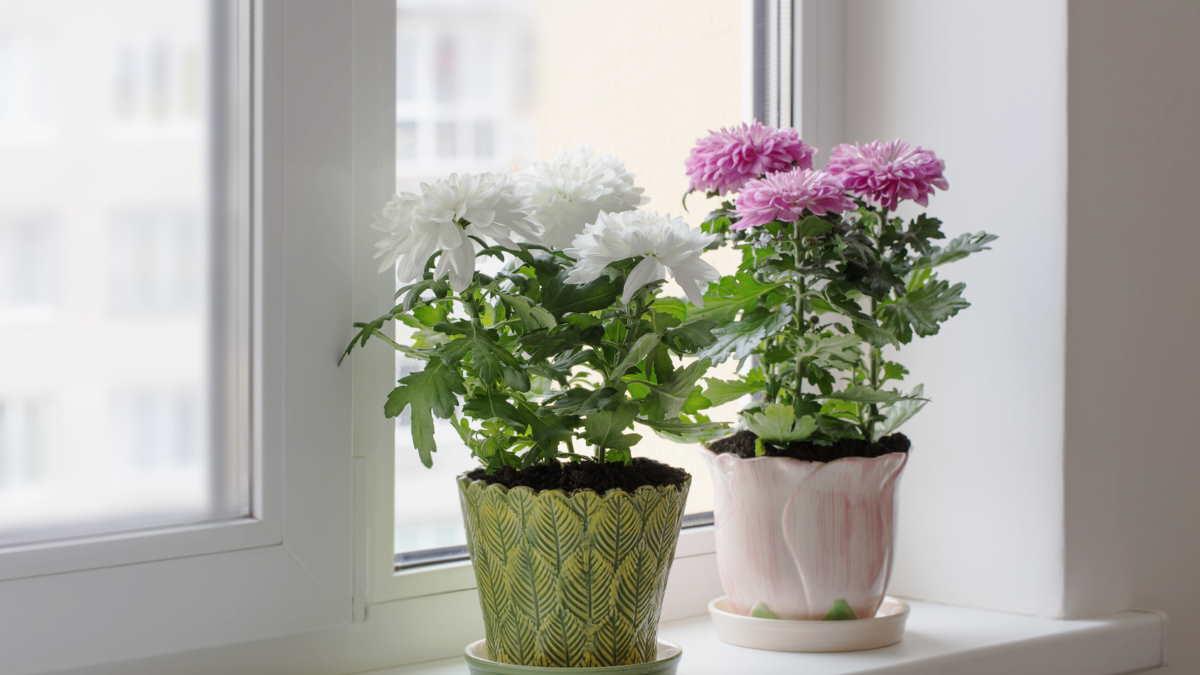 хризантемы цветы