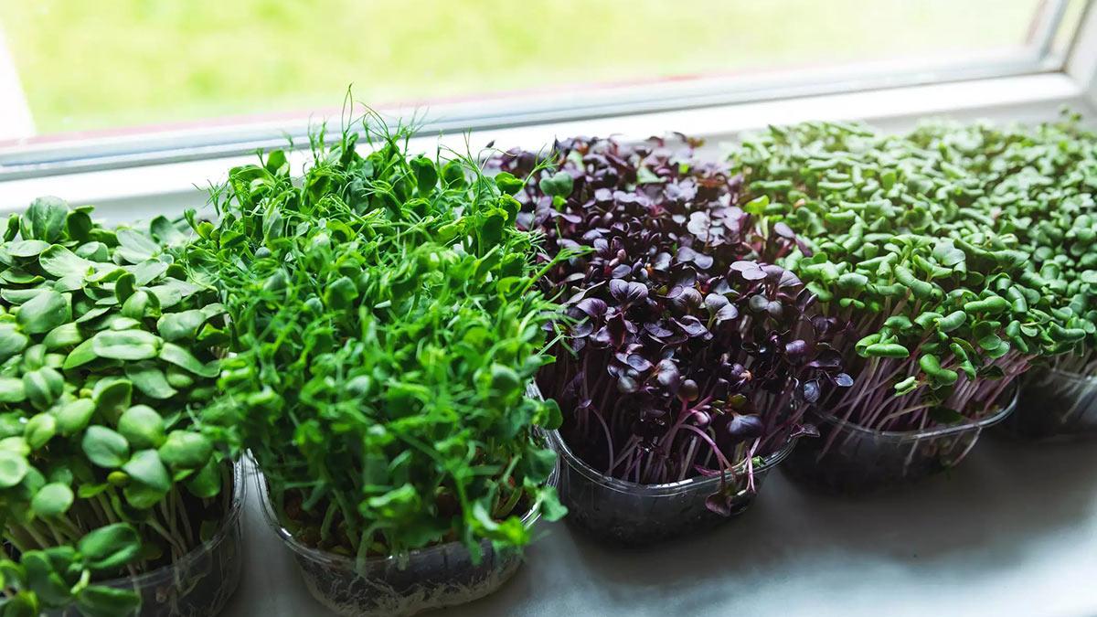 разные виды салата на подоконнике