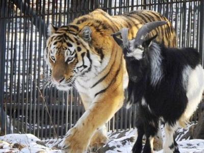 Козлы при тигре
